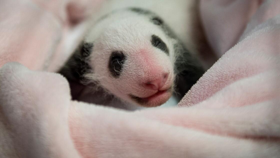 Le bébé panda de Beauval fête son premier mois en dépassant le kilo