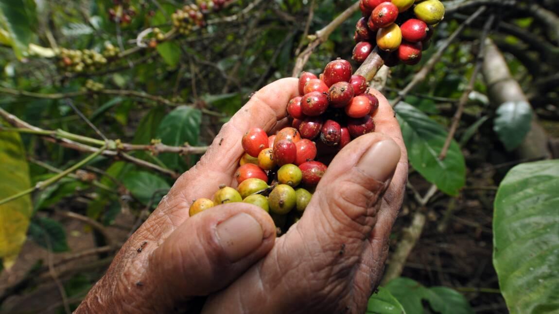 La culture du café en Éthiopie menacée par le réchauffement climatique