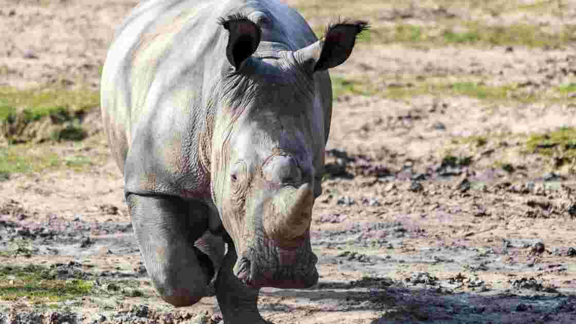 Rhinocéros tué à Thoiry: une information judiciaire ouverte
