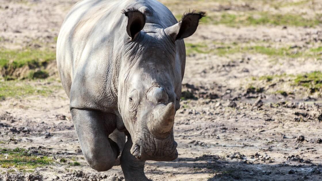 Braconnage : les rhinos plus protégés, mais toujours convoités