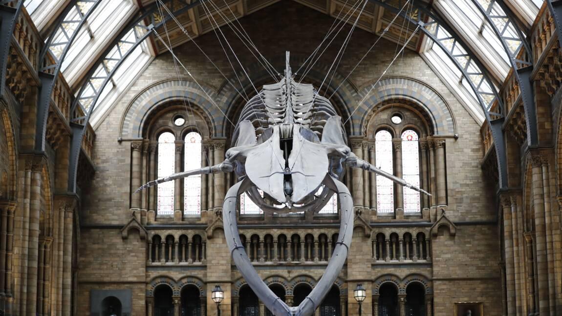 """""""Hope"""" la baleine, nouvelle star du Musée d'histoire naturelle de Londres"""