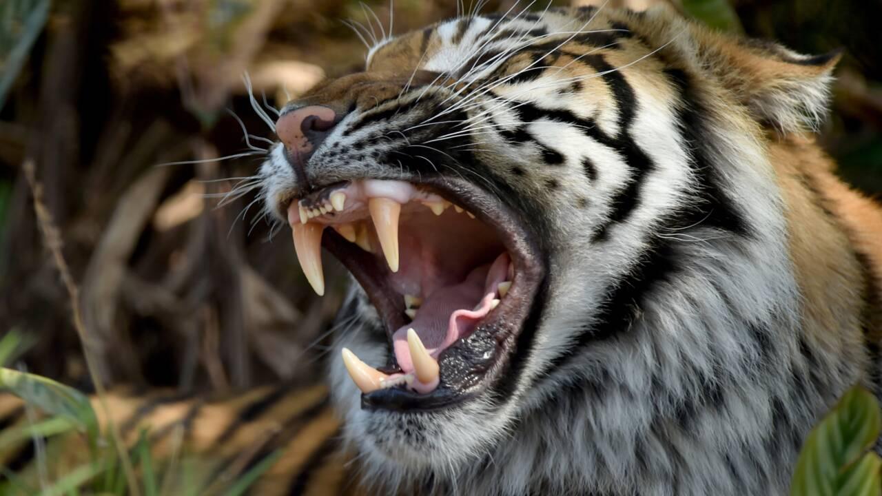 Indonésie: un tigre déchiquète une employée d'une plantation d'huile de palme