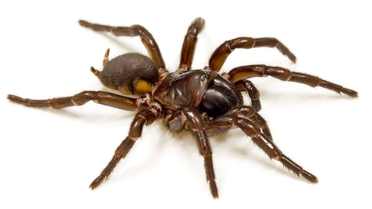 Une protéine de venin d'araignée protégerait le cerveau après un AVC