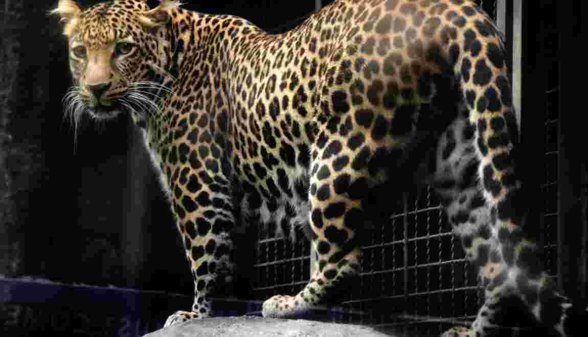 Effondrement du nombre de léopards dans le nord de l'Afrique du Sud