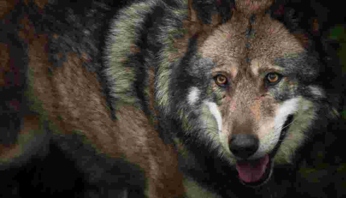 Le gouvernement autorise l'abattage de deux loups supplémentaires