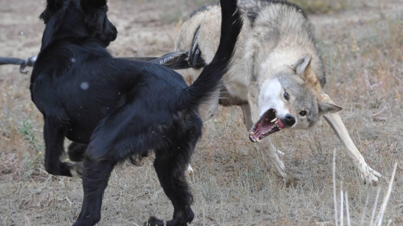 Deux gènes expliqueraient la domestication des chiens