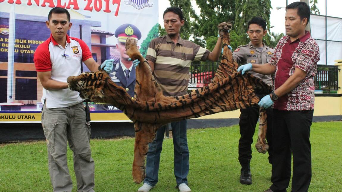 Indonésie : arrestation de deux hommes soupçonnés d'avoir chassé le tigre