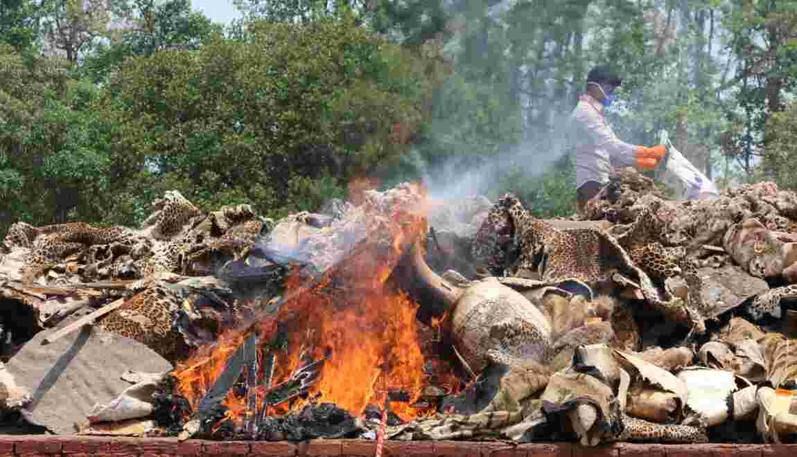 Braconnage : le Népal brûle des dizaines de peaux de tigres et de rhinocéros