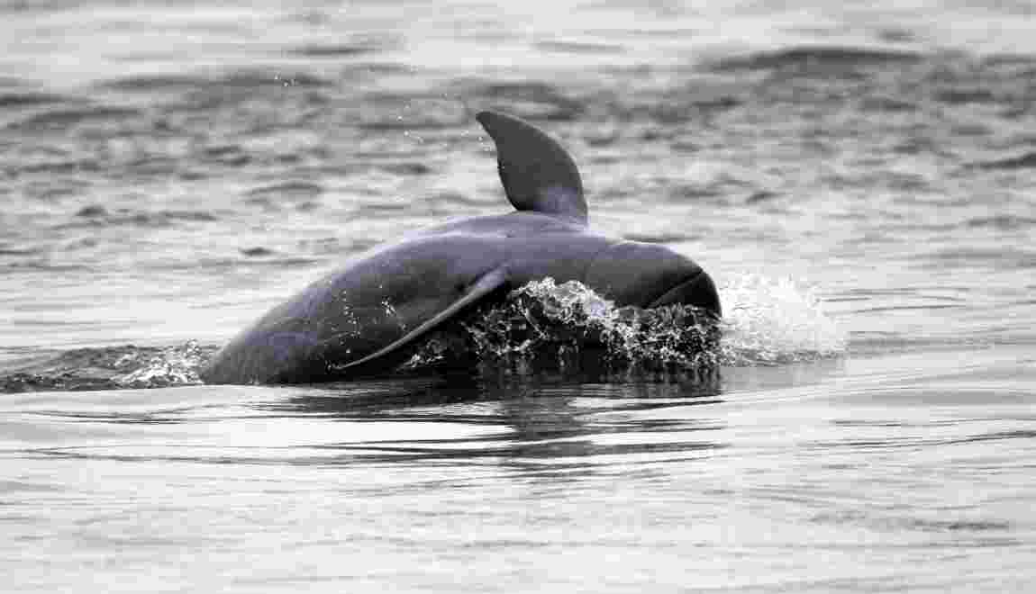 En Birmanie, les dauphins de l'Irrawaddy menacés d'extinction