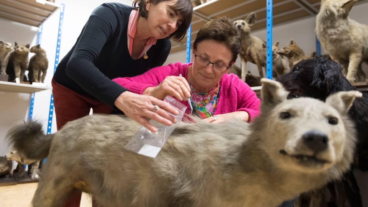 Cherche loups naturalisés pour étude scientifique de l'espèce en Europe de l'ouest
