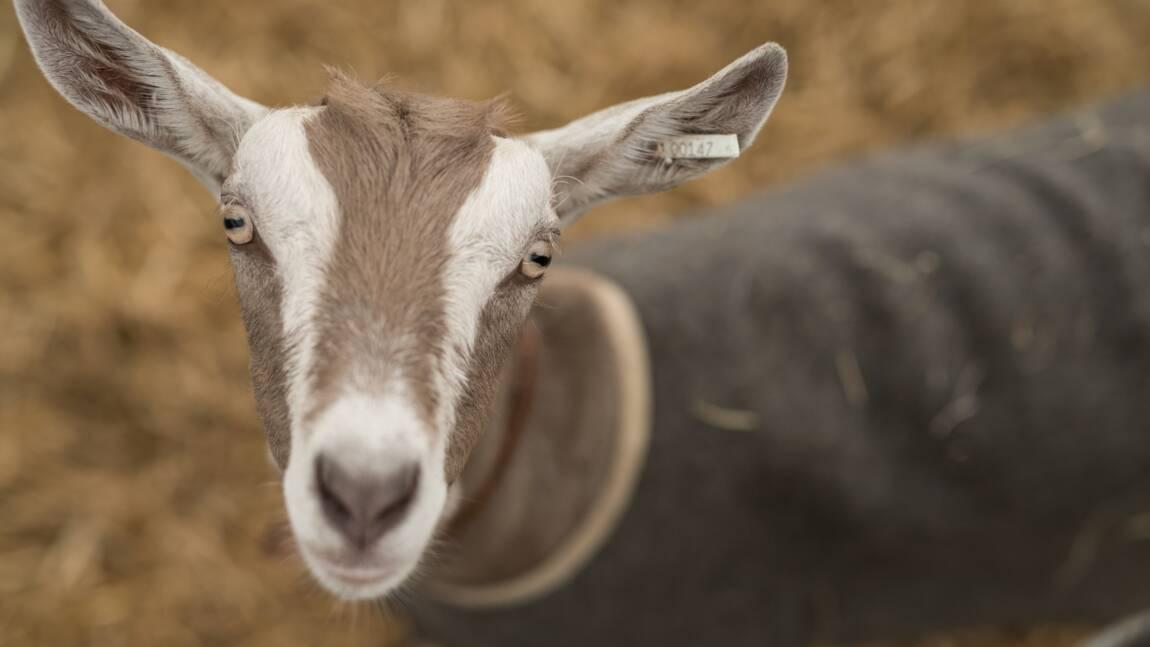 Bê ! Les chèvres préfèrent les gens heureux