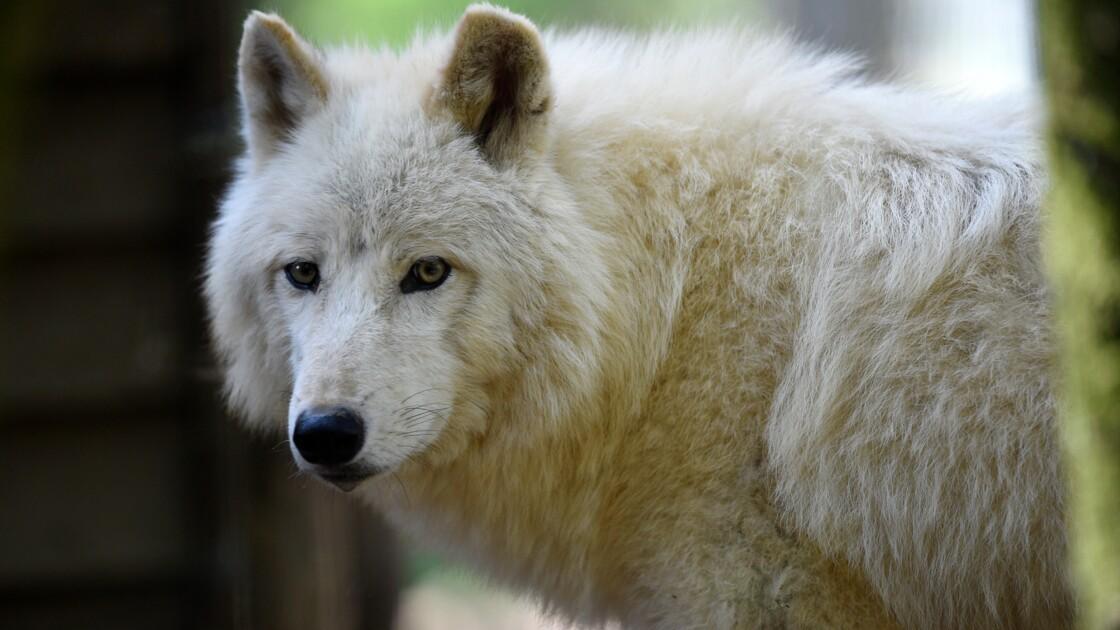 Les chiens viendraient tous d'une même population de loups