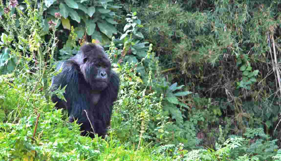 Les gorilles d'Afrique occidentale plus nombreux que prévu mais toujours menacés