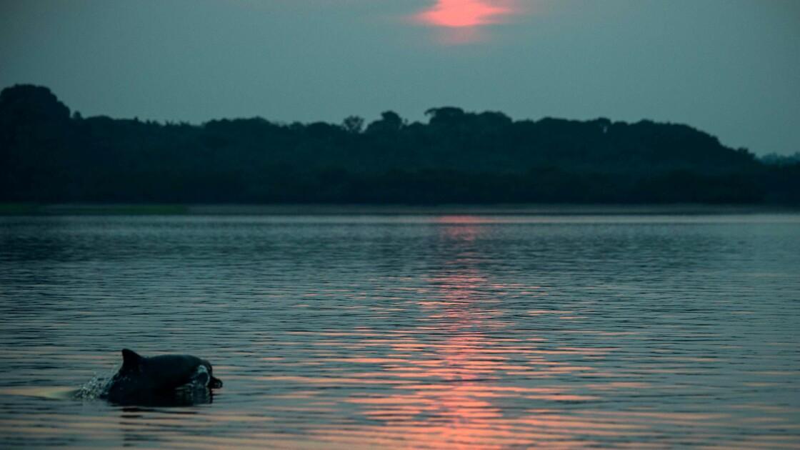 Les dauphins roses d'Amazonie contaminés au mercure selon le WWF