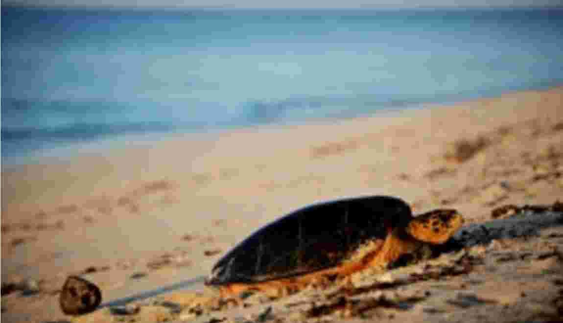 Sur la côte kenyane, la lutte des tortues assaillies par le plastique