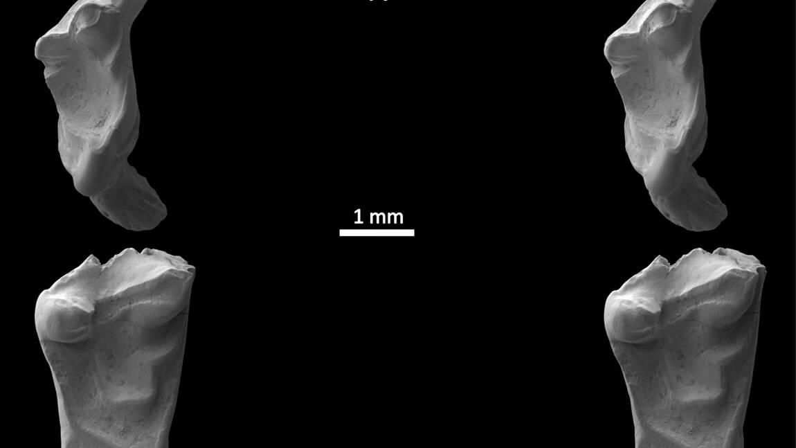 """Des dents de """"rats"""" de 145 millions d'années découvertes en Angleterre"""