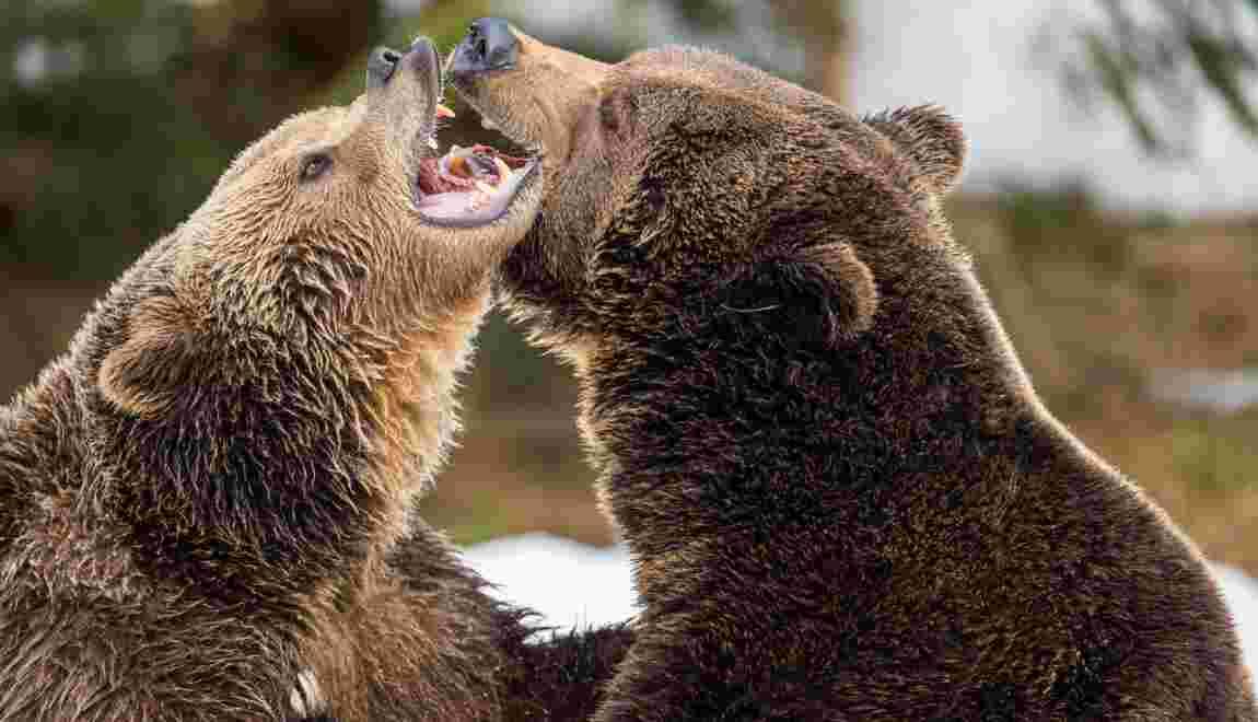 """Les mamans ourses gardent leurs petits comme """"boucliers"""" contre les chasseurs"""