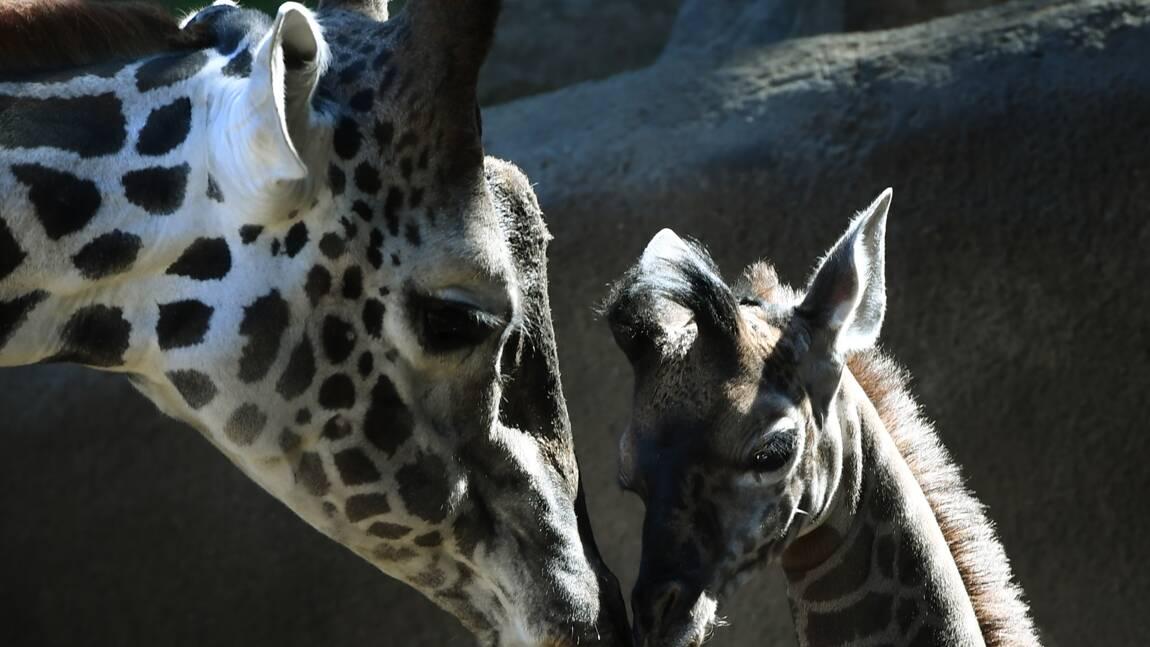 La girafe sur la longue liste des espèces menacées