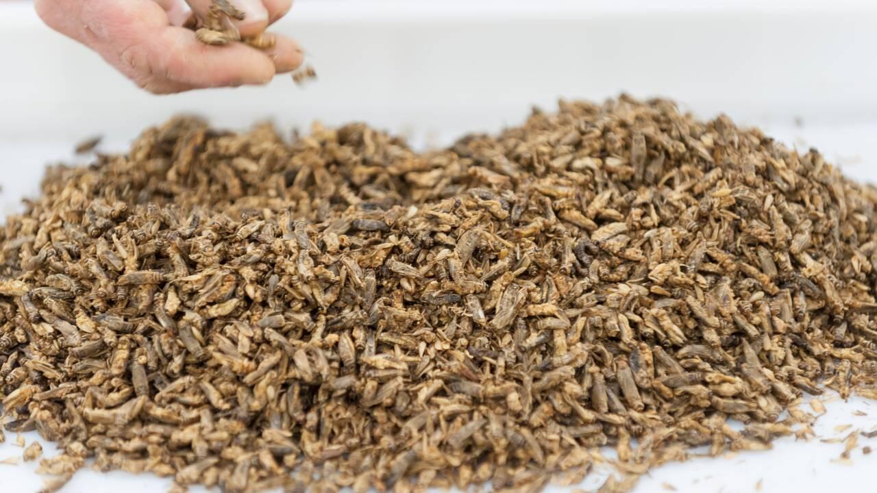 Insectes, microalgues, à quoi ressemblera l'assiette du futur ?