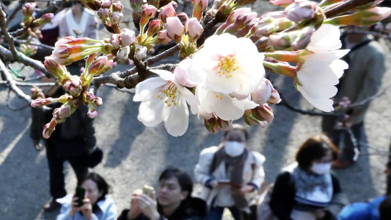 Les cerisiers japonais menacés par un coléoptère venu de l'étranger