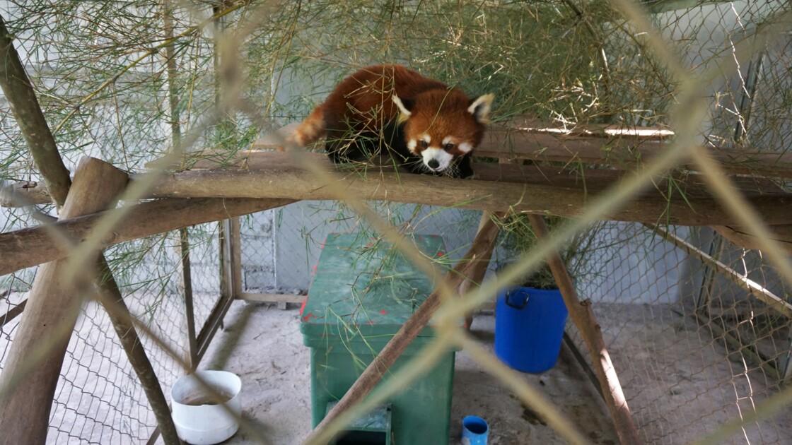 Trois pandas roux rescapés d'un trafic d'animaux installés au Laos