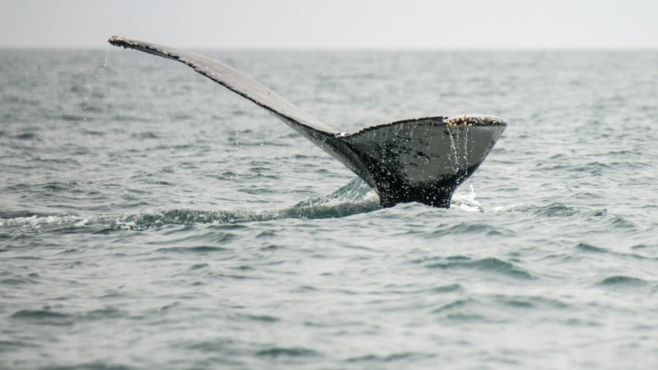 Partisans et opposants à la chasse à la baleine affichent leur fermeté