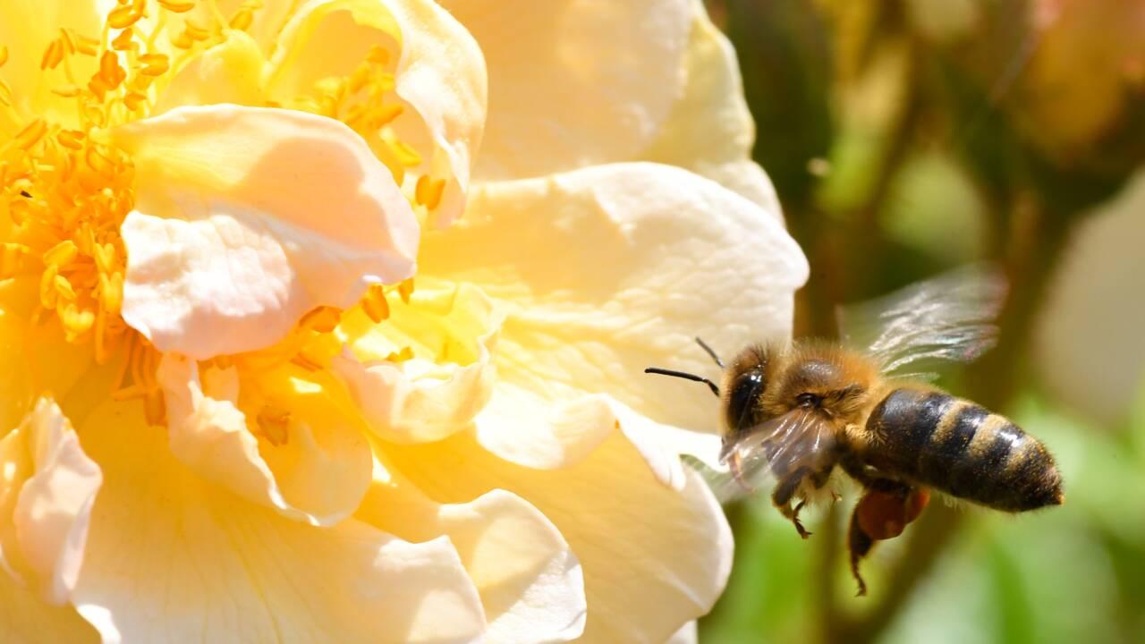 L'abeille, peut-être une solution pour écarter l'éléphant des humains
