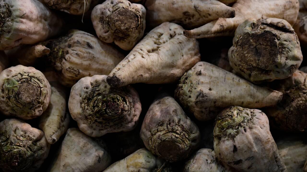 """Face à l'interdiction des néonicotinoïdes, les planteurs de betteraves sans """"alternative efficace"""""""