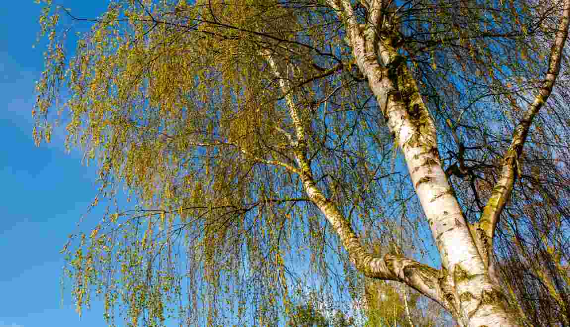 Allergies: attention aux pollens de bouleau