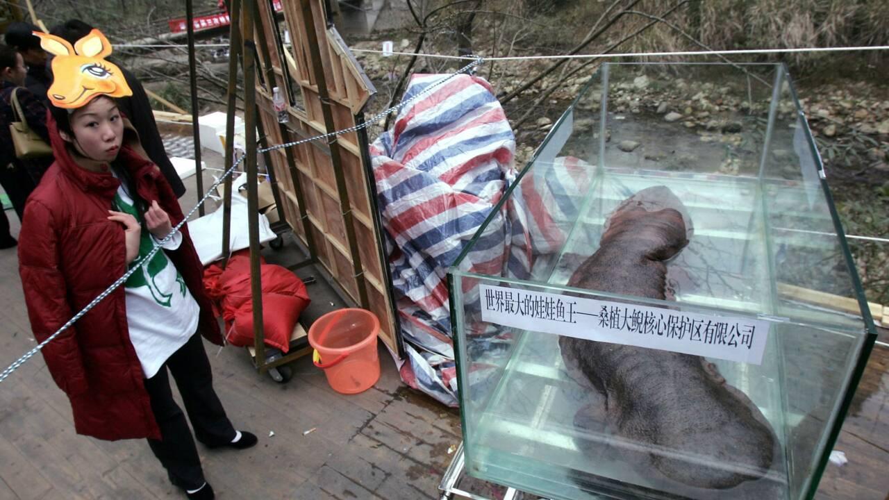 La salamandre géante de Chine court vers l'extinction