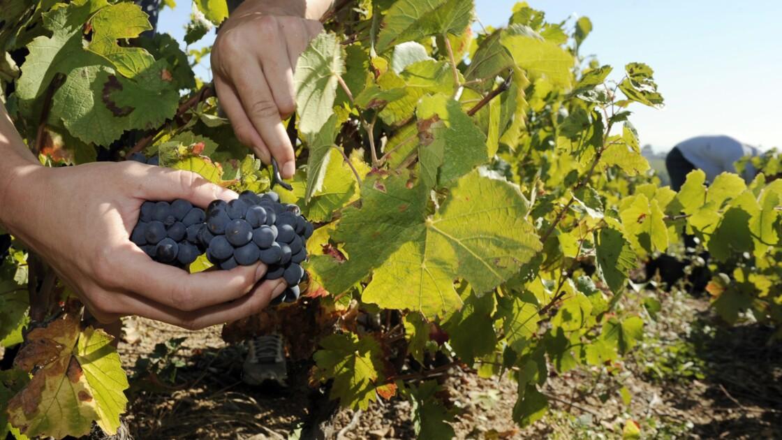 De nouvelles vignes résistantes aux maladies pour diminuer l'usage des pesticides