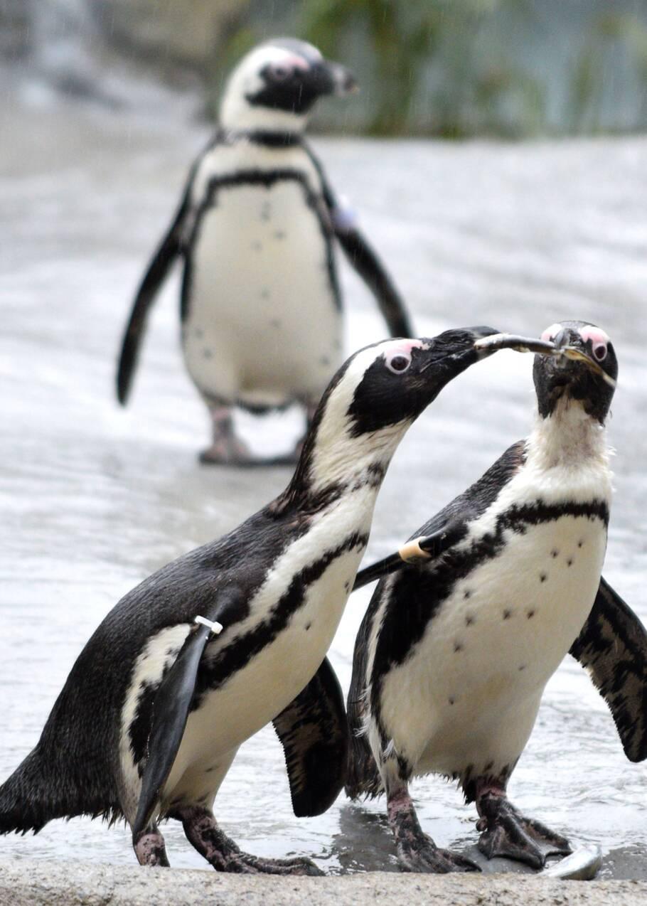 Manchots: les chercheurs appellent à mieux protéger l'Antarctique