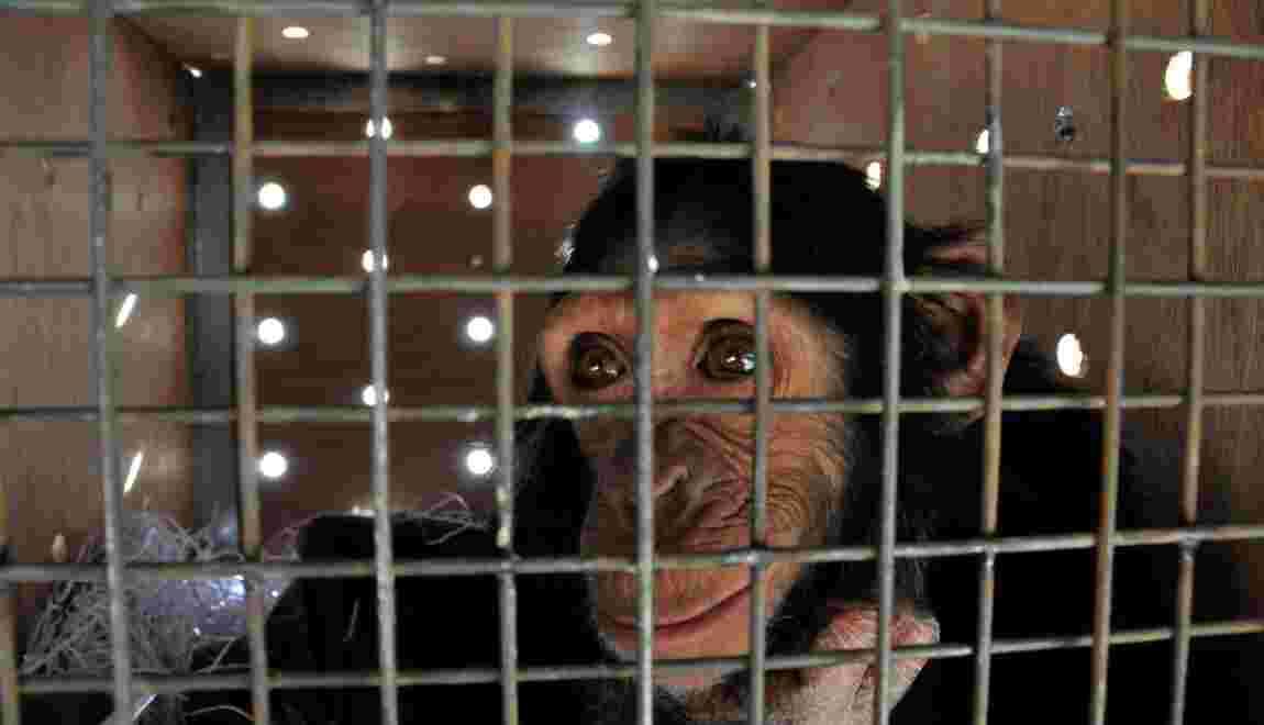 Victime d'un trafic, un chimpanzé quitte l'Irak pour le Kenya