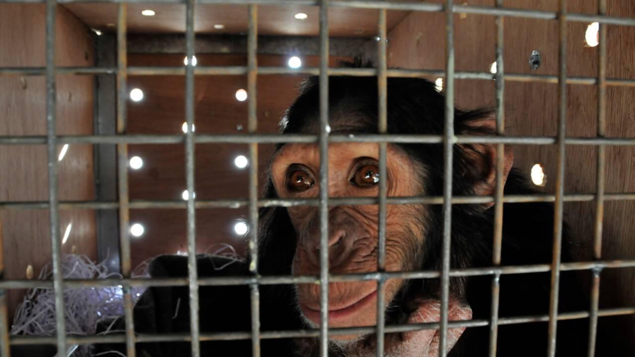 """""""Chimpanzé à selfies"""" en Irak, Manno trouve refuge au Kenya"""
