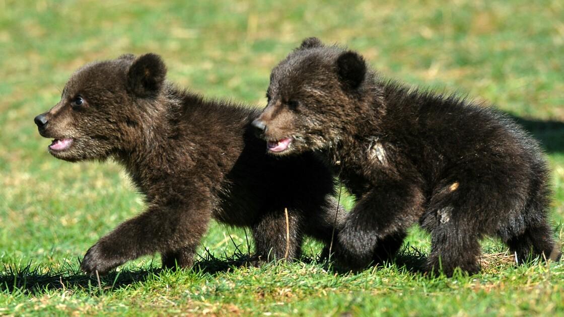 Le Monténégro s'émeut pour deux oursons orphelins