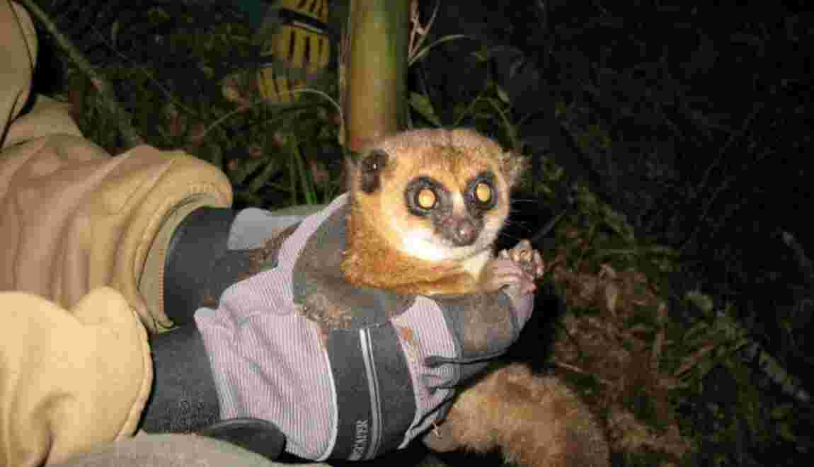 A Madagascar, le difficile sauvetage du lémurien passe par le privé
