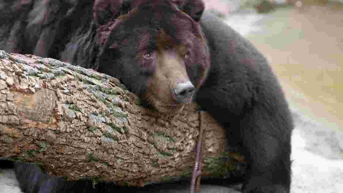 Russie: la vidéo choc d'un ours écrasé volontairement par des camions