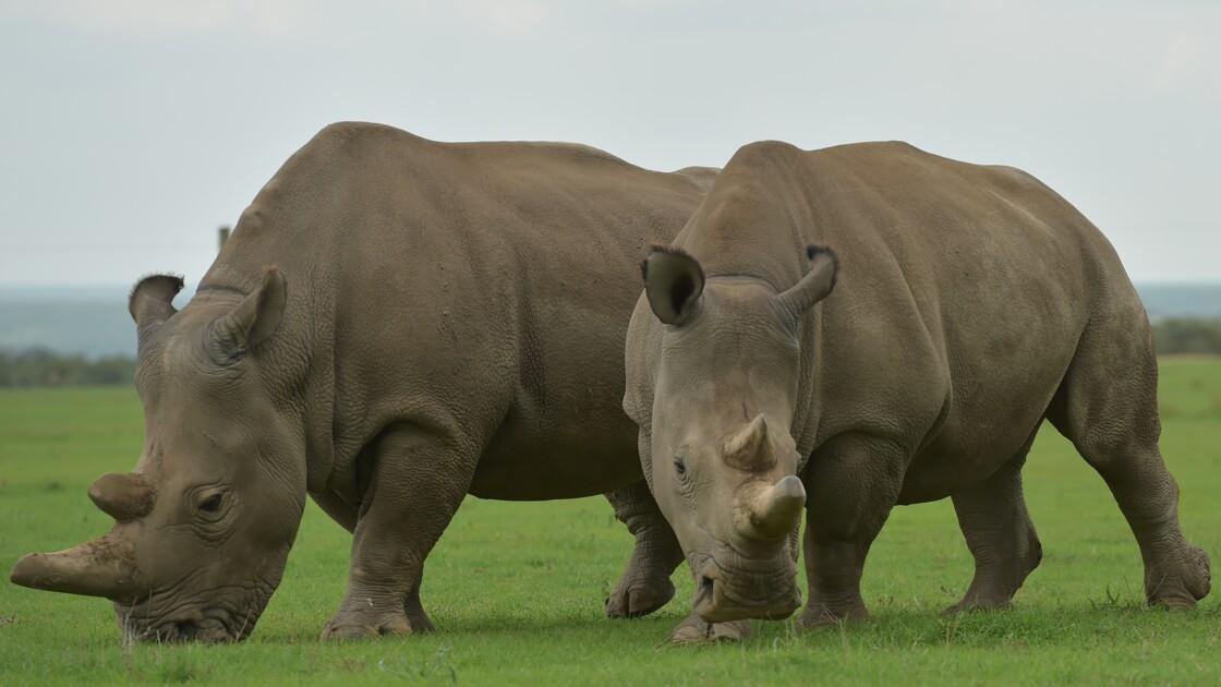 Premiers embryons de rhinos in vitro : l'espoir renaît