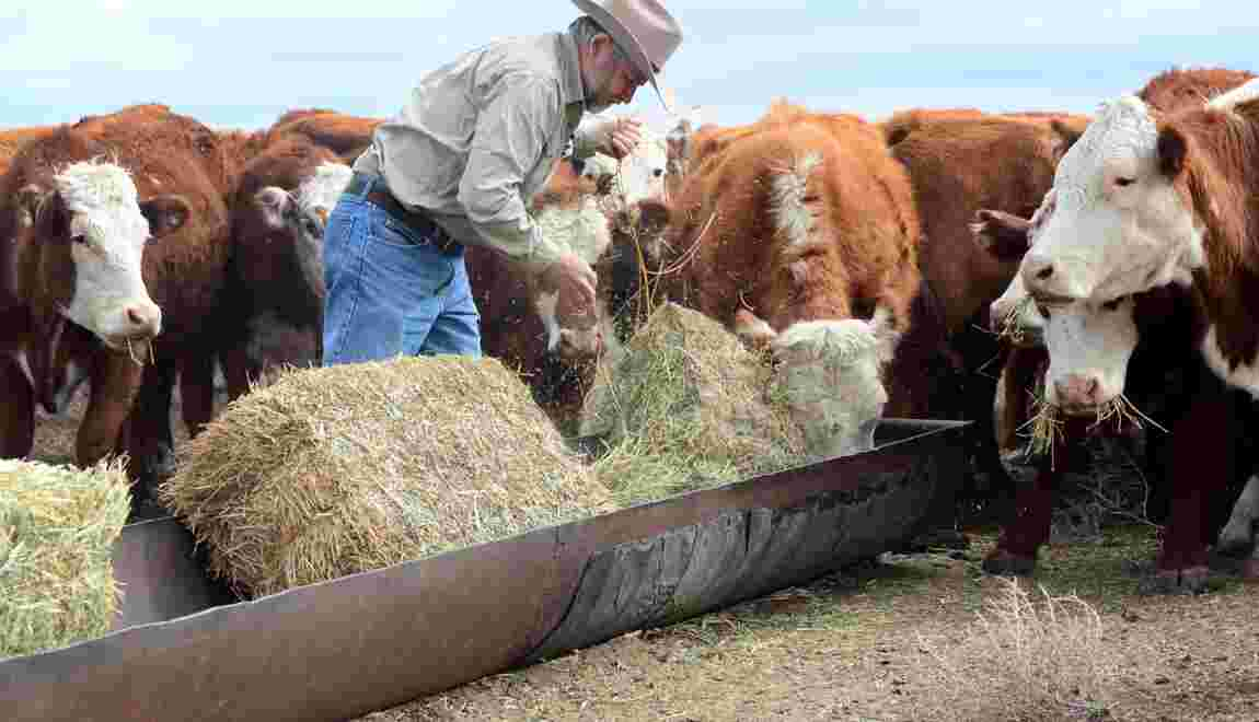 Elevage et agriculture parient sur l'édition génétique aux USA