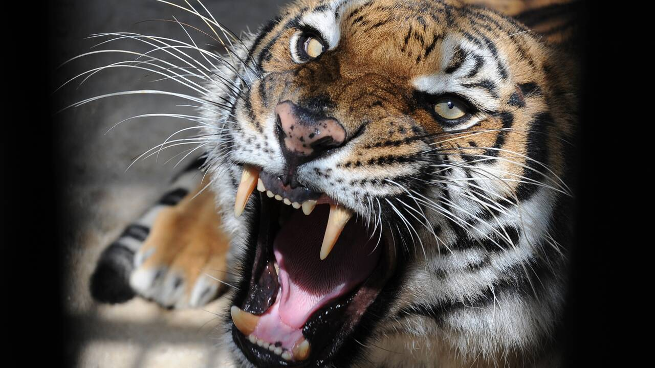 Le Bangladesh veut mieux protéger ses tigres du Bengale