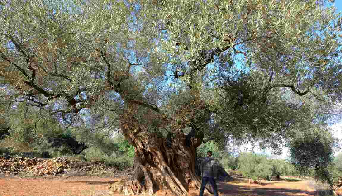 Bactérie tueuse d'oliviers: l'Espagne continentale touchée