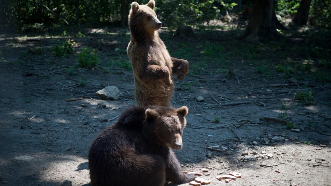 Roumanie : onze ours en vadrouille dans une petite ville des Carpates