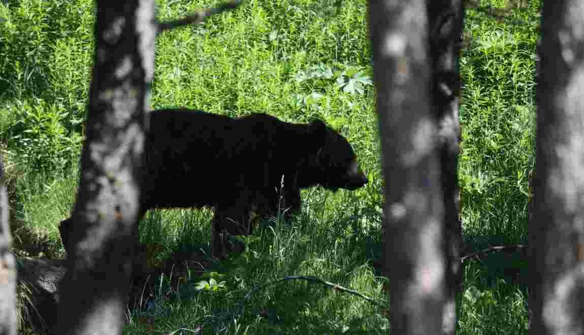 Ours dans les Pyrénées: quatre agents publics pris à partie en Ariège