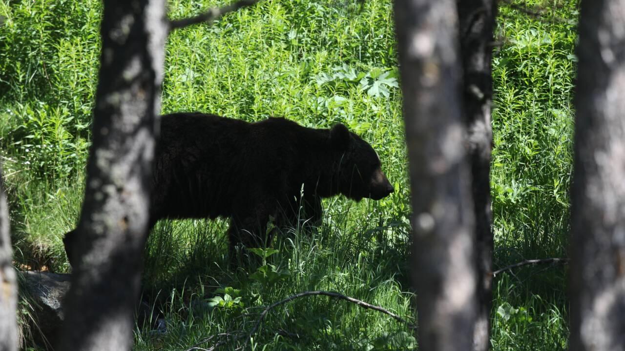 Ariège: premier effarouchement d'ours, après la chute de 61 brebis