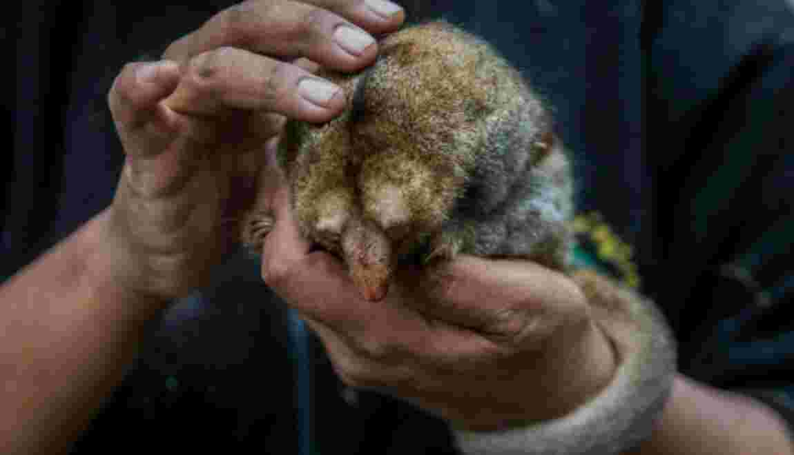 Des fourmiliers nains stars d'un zoo péruvien