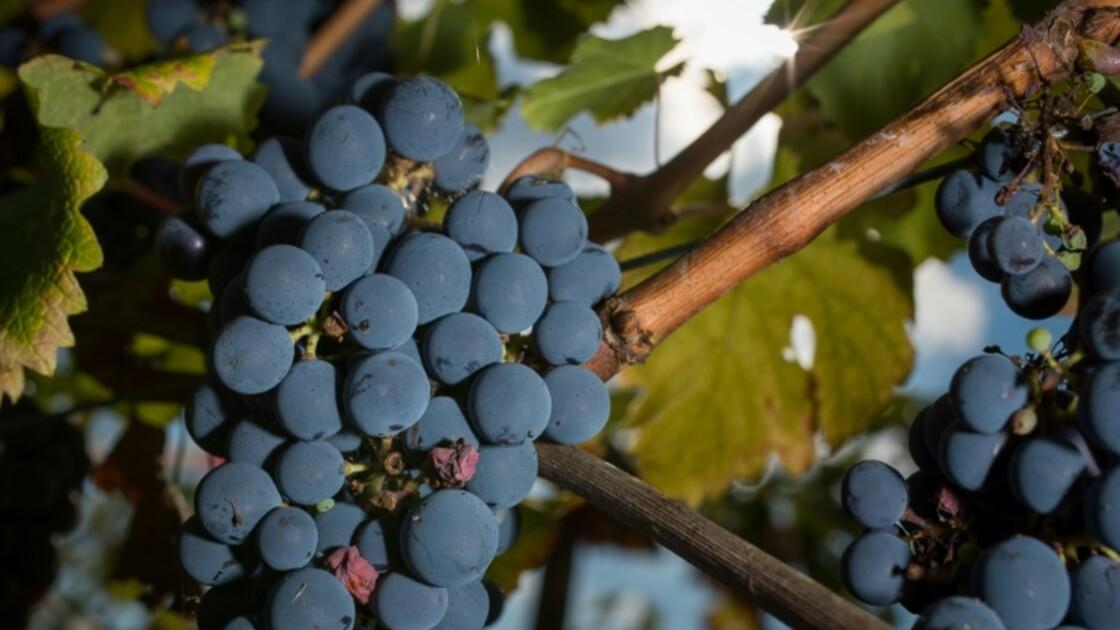 Bouleversements climatiques: la vigne française doit s'adapter