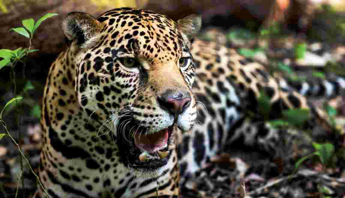 Mexique: le nombre de jaguars en hausse de 20%