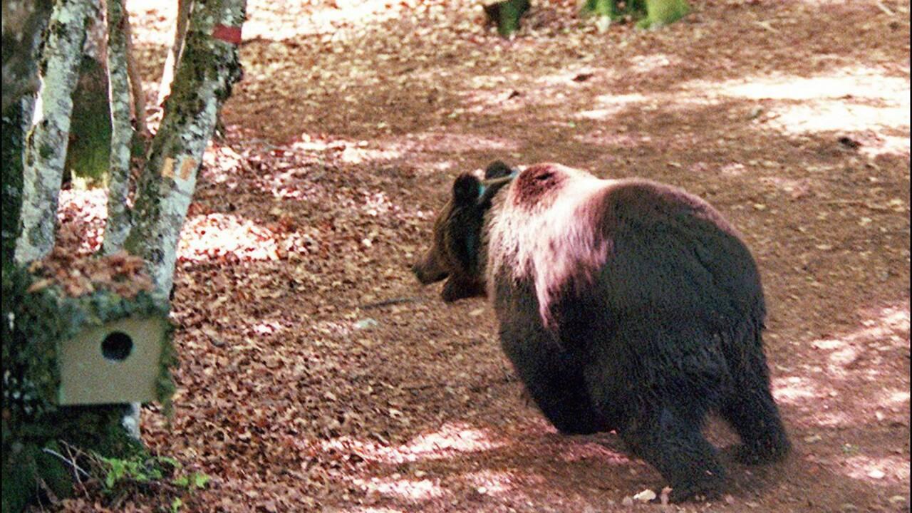 Protection de l'ours dans les Pyrénées: l'Etat condamné pour carence