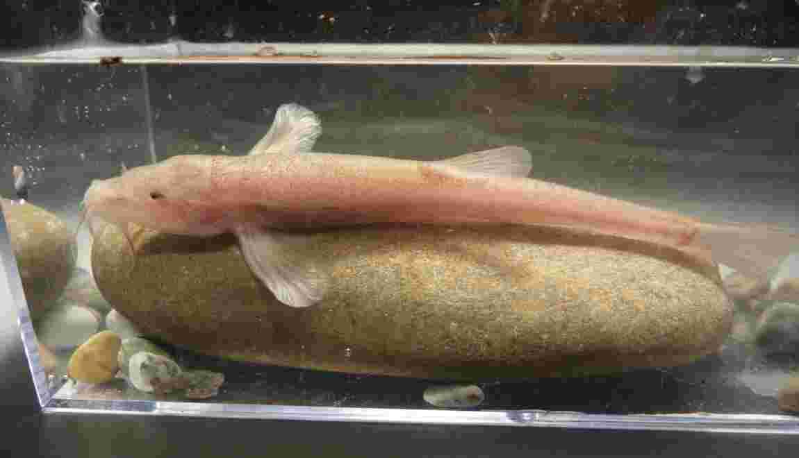 Découverte par hasard du premier poisson cavernicole en Europe