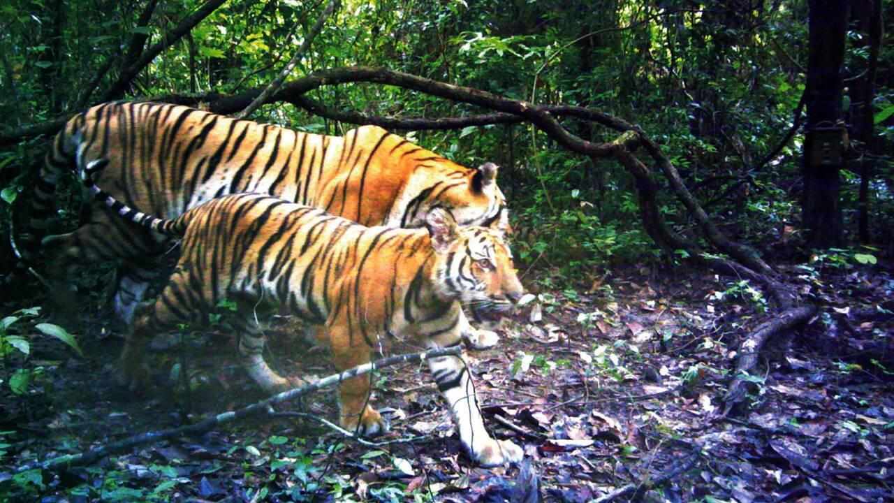 """Des nouvelles familles de tigres découvertes en Thaïlande, un """"miracle"""""""